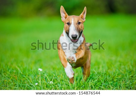 english bull terrier puppy running - stock photo