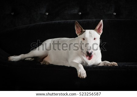 English bull terrier/studio