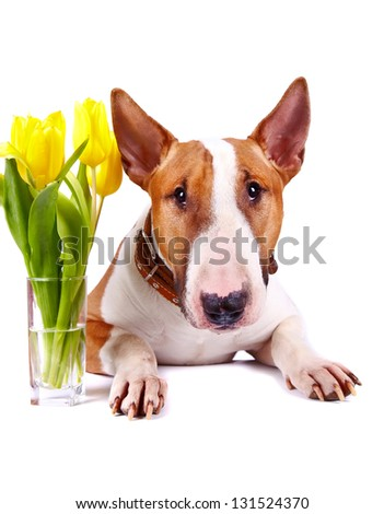 English bull terrier. Thoroughbred dog. Canine friend. Red dog. Portrait of a dog. Dog with tulips. Portrait of a dog with flowers.