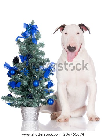 english bull terrier with a Christmas tree - stock photo