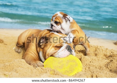 English Bulldog and a puppy are playing on the beach with a freezbie - stock photo