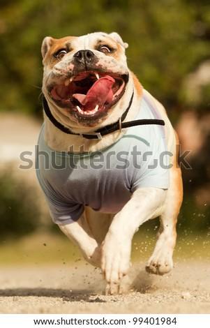 English bulldog captured while running at maximum speed - stock photo