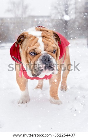 English bulldog covered with snow in the park