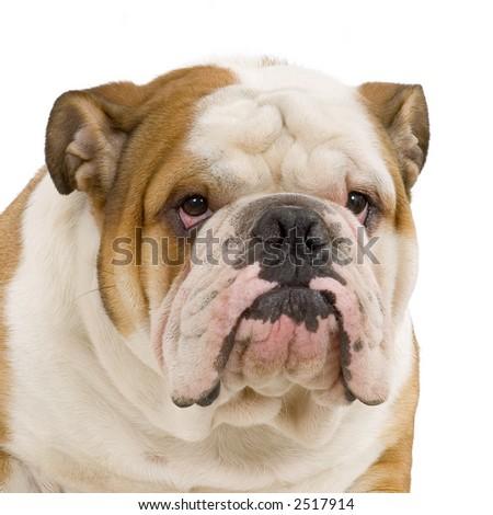 english Bulldog cream and white stitting in front of white background - stock photo