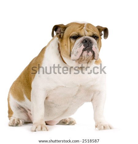 english Bulldog cream and white stitting in front of white background