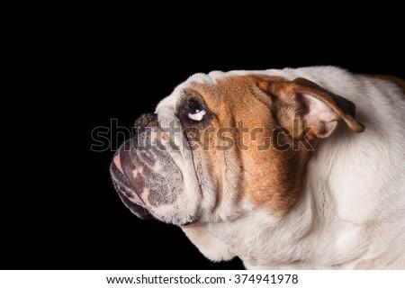 English Bulldog dog canine pet isolated on black background looking up and hopeful curious waiting watching patiently - stock photo