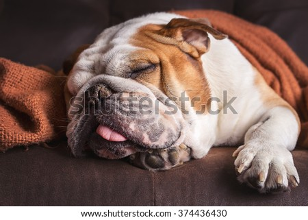 English Bulldog dog canine pet on brown leather couch under blanket looking sad bored lonely sick tired exhausted  - stock photo
