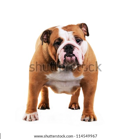 English Bulldog dog in studio, isolated on white background