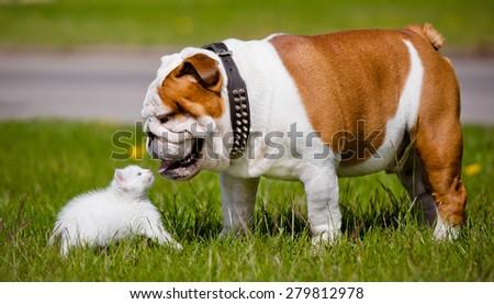 english bulldog dog meets white kitten - stock photo