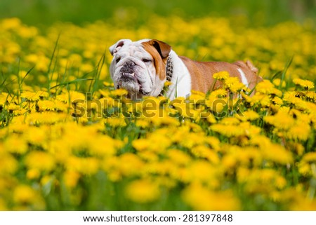 english bulldog dog on a dandelions field - stock photo