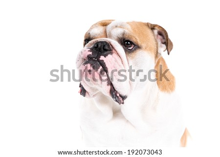 English Bulldog dog on a white background