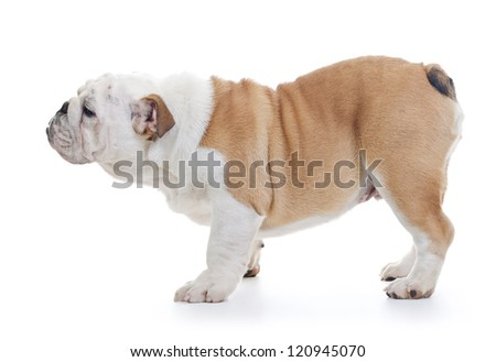 English Bulldog Dog standing, Profile shot over white - stock photo