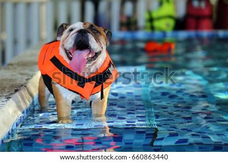 english bulldog dog wear life jacket stock photo edit now
