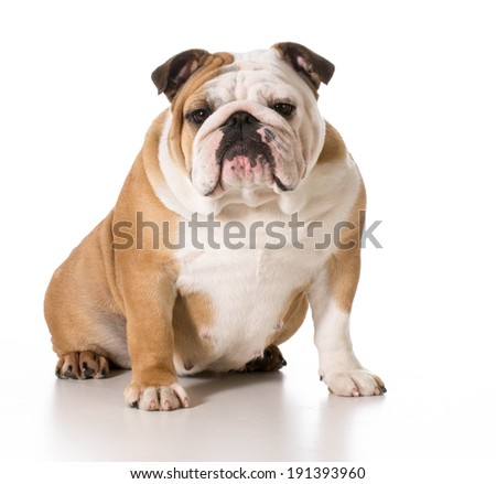 english bulldog female sitting looking at viewer isolated on white background
