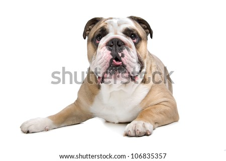 English Bulldog in front of a white background