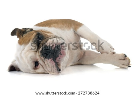 english bulldog in front of white background - stock photo