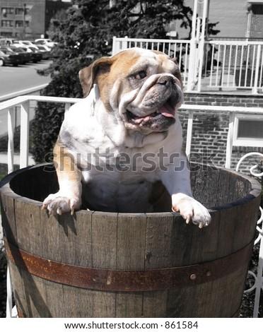 English Bulldog in Planter - stock photo