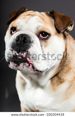 English bulldog isolated on dark grey background. Studio portrait. Funny dog. - stock photo