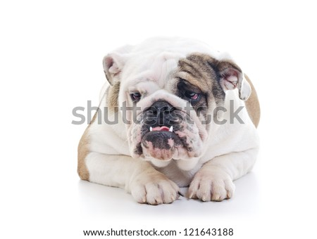 English Bulldog laying and looking off camera, over white background