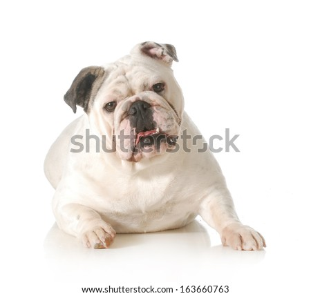 english bulldog laying down looking at viewer isolated on white background