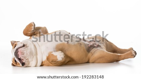english bulldog laying on back sleeping - 7 months old - stock photo