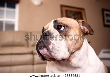 English Bulldog looking away from the camera - stock photo