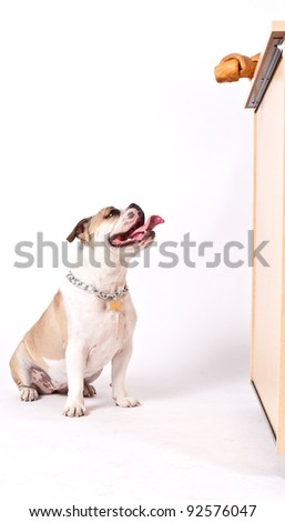 English bulldog looking up at the counter begging for a bone or food - stock photo