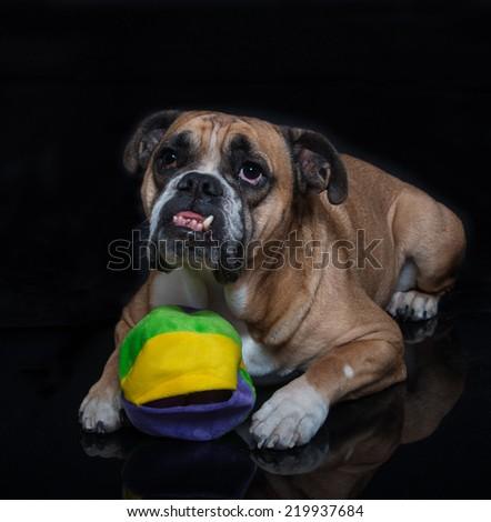 English Bulldog lying down with his toy - stock photo