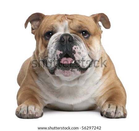 English Bulldog, 18 months old, lying in front of white background