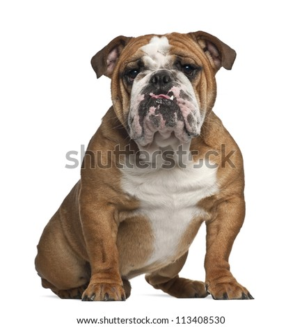 English Bulldog, 10 months old, sitting against white background - stock photo