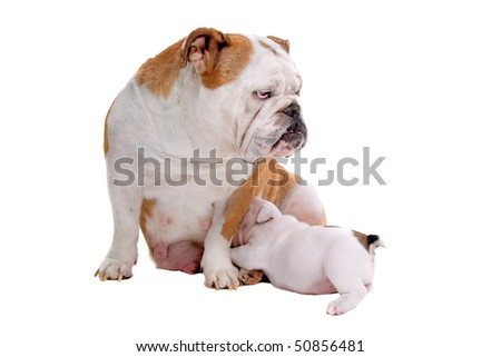 English bulldog nursing a puppy isolated on a white background