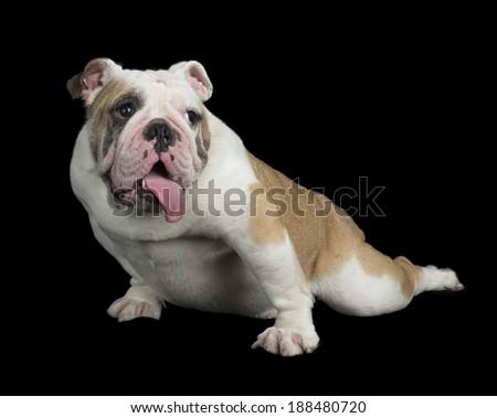 English Bulldog on black background  - stock photo
