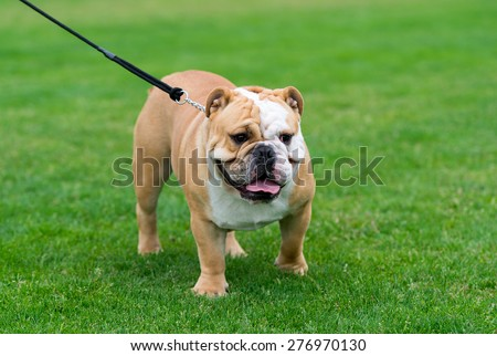 English bulldog on the grass. - stock photo