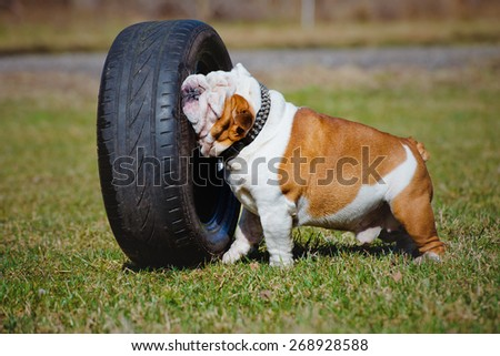 english bulldog playing with car tyre - stock photo