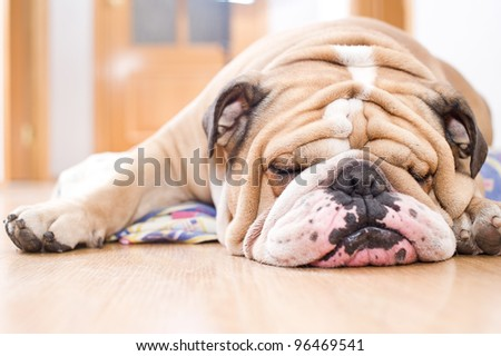 English Bulldog portrait - stock photo