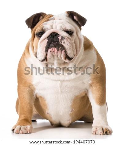 english bulldog portrait on white background - stock photo