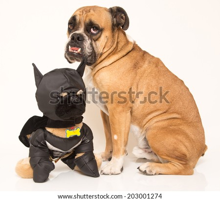 English Bulldog posing with his stuffed friend - stock photo