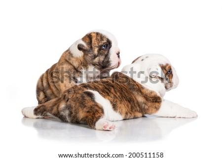 English bulldog puppies - stock photo