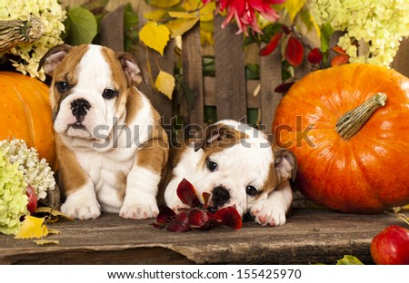 English bulldog puppies and a pumpkin - stock photo