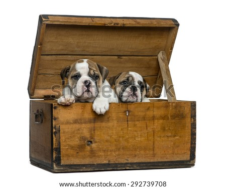 English bulldog puppies in a wooden chest in front of white background