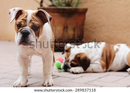 english bulldog puppies outside pavers - stock photo