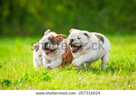 English bulldog puppies running outdoors - stock photo