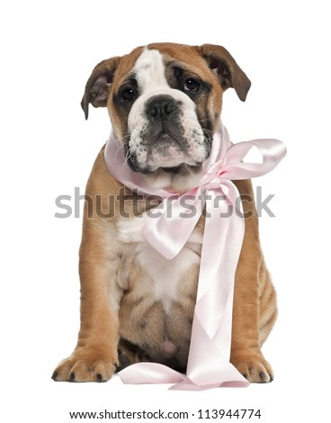 English Bulldog puppy, 2 and a half months old, wearing bow and sitting against white background