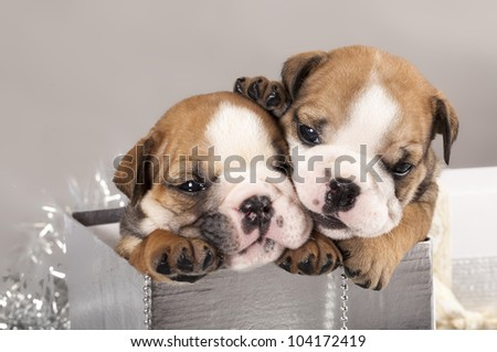english Bulldog puppy and gifts christmas