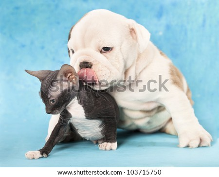 english Bulldog puppy and kitten - stock photo