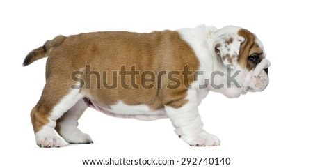 English bulldog puppy in front of white background