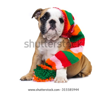 english Bulldog puppy in gnome hat - stock photo