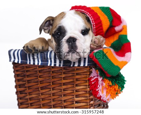 english Bulldog puppy in gnome hat - stock photo