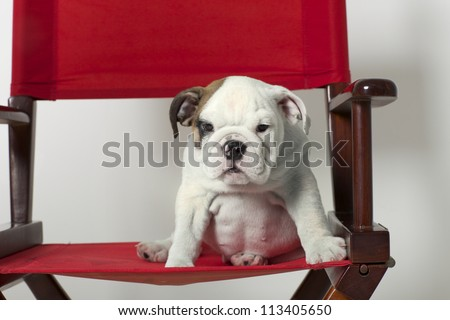 English Bulldog Puppy in Red Directors Chair - stock photo