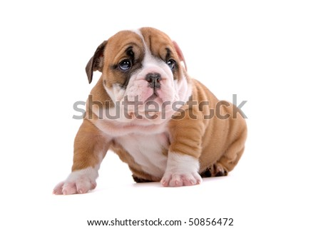 English bulldog puppy isolated on a white background